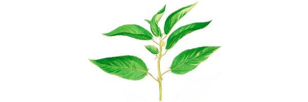 Ueber-die-Jutepflanze
