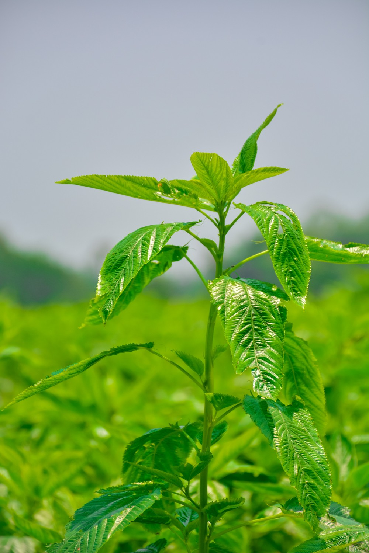 Jute-Pflanze Jutepflanze
